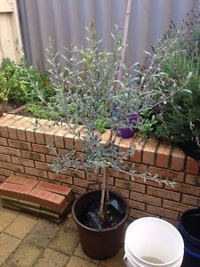 Olive tree good quality Clarkson Wanneroo Area Preview