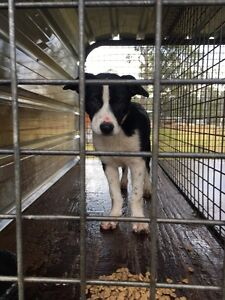 Border Collie Kelpie Cross Pups Ravenshoe Tablelands Preview