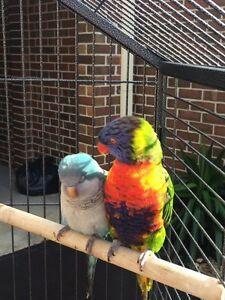Lost Rainbow Lorikeet Hoppers Crossing Wyndham Area Preview