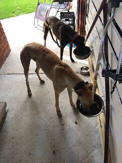 5 year old greyhound