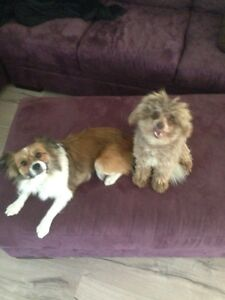 Male Toy poodle & Female Pappilion Dogs for sale Mundoolun Logan Area Preview