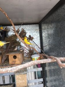 Canaries and zebra finches Bywong Queanbeyan Area Preview