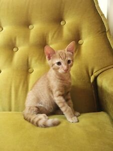 little kitten free to a good home Banyo Brisbane North East Preview