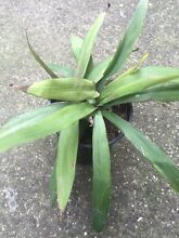 Cordyline narrow leaf palm lily plant Northcote Darebin Area Preview