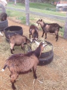 Pygmy X Goat Wethers Canungra Ipswich South Preview