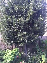 Mature Bay Tree - Buyer to dig & remove Hawthorn Boroondara Area Preview