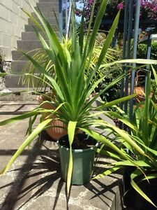 Dragon tree Kyeemagh Rockdale Area Preview