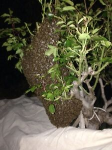 MELBOURNE & EASTERN SUBURBS FREE BEE SWARM RESCUE WITHIN A HOUR Mont Albert North Whitehorse Area Preview