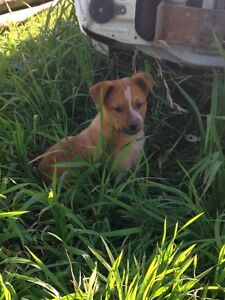 Red Heeler pups Bracknell Meander Valley Preview