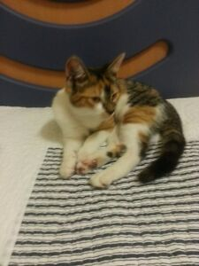 FREE KITTEN FOR GOOD HOME Dallas Hume Area Preview