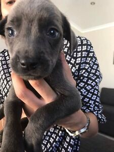 8 adorable pups for sale! Butler Wanneroo Area Preview