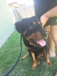 2YR PURE ROTTWEILER Yamanto Ipswich City Preview