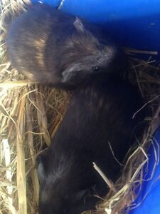 Baby Guinea pigs Ingleside Warringah Area Preview