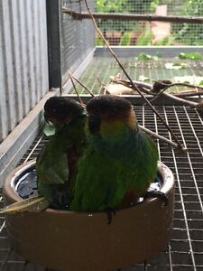 Blue throated conure pair Colonel Light Gardens Mitcham Area Preview