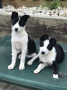 11 week old border collie pups Mansfield Mansfield Area Preview