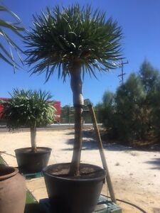 Dragon Tree Iluka Joondalup Area Preview