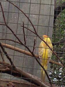Rump parrots Wandana Heights Geelong City Preview