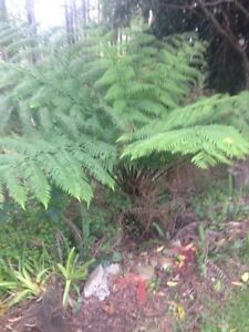 Free Ferns - Remove yourself Kurrajong Heights Hawkesbury Area Preview