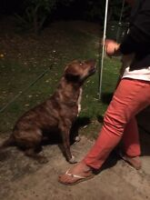 Giveaway a staffy male Inala Brisbane South West Preview