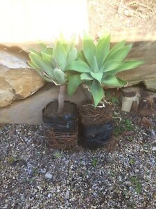 Agave  plants Springfield Ipswich City Preview