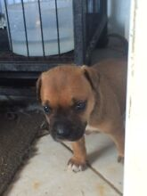 English staffy puppies Narromine Narromine Area Preview