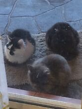 Giveaway 3 kittens Glenvale Toowoomba City Preview