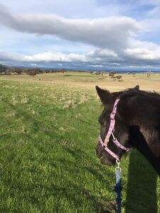 Horse Agistment, Spelling and Boarding Belconnen Belconnen Area Preview