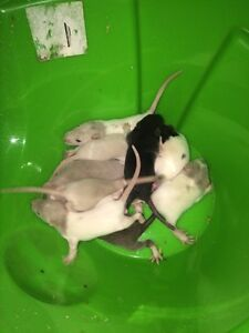Male baby rats ready now Blacktown Blacktown Area Preview