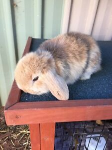Mini lop Buck harlequin Kalgoorlie Kalgoorlie Area Preview