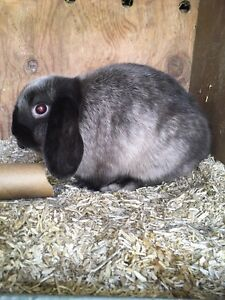 Stunning Dwarf Lop Baby Mirrabooka Stirling Area Preview