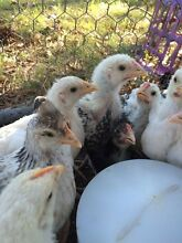 Chickens Rocksberg Caboolture Area Preview