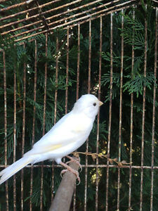 Male canary North Richmond Hawkesbury Area Preview