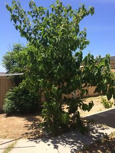 Mulberry tree FREE Munster Cockburn Area Preview