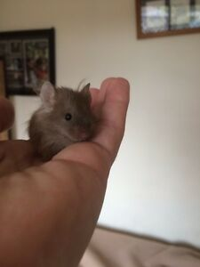 Two fluffy mouse for sale + cage  / boys Penshurst Hurstville Area Preview