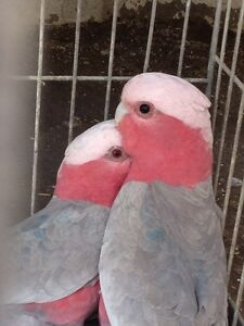 Pair of galahs for sale or swap Whalan Blacktown Area Preview