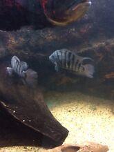 Convict fish North Tivoli Ipswich City Preview