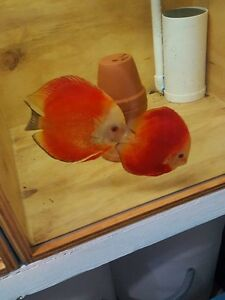 Discus fish for sale, great prices Cornubia Logan Area Preview