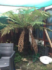 Tree fern for sale Chelsea Kingston Area Preview
