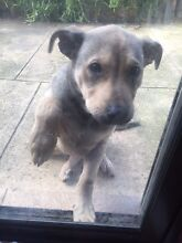 Gorgeous Kelpy Cross puppy 12 w/o Redcliffe Belmont Area Preview