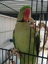 Alexandrine Parrot Clyde Casey Area Preview
