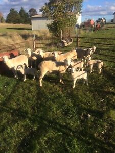 Wiltipoll ewes and lambs Nowendoc Walcha Area Preview