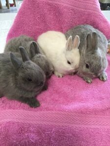 Purebred Netherland Dwarf Rabbits! 7 wks old! With pedigree Carrum Downs Frankston Area Preview