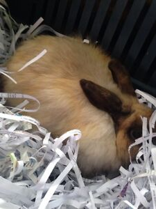 Beautiful female rabbit Sunbury Hume Area Preview