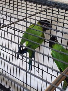 Nanday Conures for sale Altona North Hobsons Bay Area Preview
