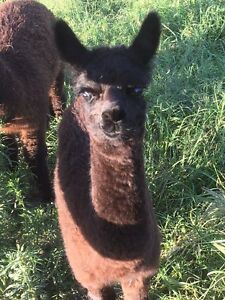 Alpaca baby boy Wamuran Caboolture Area Preview