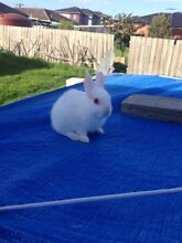 Rabbit Netherlands dwarf Dandenong Greater Dandenong Preview