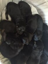 Rottweiler Pups Beechboro Swan Area Preview
