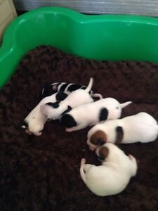 Jack Russell puppy Lake Albert Wagga Wagga City Preview
