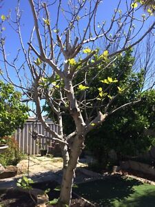 Large fig tree Kingsley Joondalup Area Preview