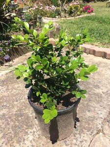 Buxus (great for hedge) of individual plant Sutherland Sutherland Area Preview